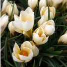 Cream Beauty Snow Crocus