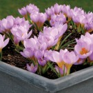 Firefly Snow Crocus