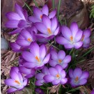 Ruby Giant Snow Crocus