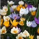 Snow Crocus Mix