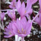 Colchicum 'The Giant' Fall Flowering Bulb