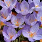 Crocus speciosus Fall Flowering Bulb