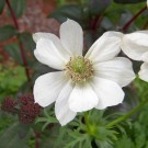 Anemone De Caen 'The Bride'