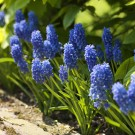 Muscari armeniacum 'Blue'