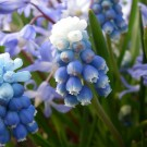 Muscari aucheri 'Mount Hood'