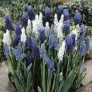 Blue Suede Shoes Muscari Mix