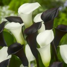Checkerboard Calla Mix