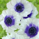 Anemone de Caen 'Rainbow Blueberry'