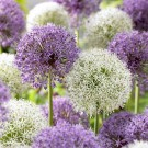 Puff Ball Alliums Creative Combination