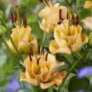 Apricot Fudge Novelty Lily