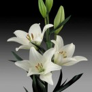 Bach Novelty Lily