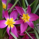 Pulchella Eastern Star Mini Botanical Tulip