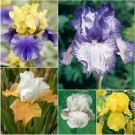 Light & Bright Bearded Iris Collection