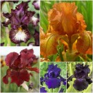 Royal Flush Bearded Iris Collection