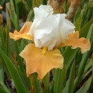 Apricot Frosty Bearded Iris