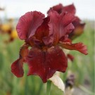 Fort Apache Bearded Iris