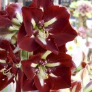 Barbados Novelty Amaryllis