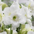 Donner Christmas Blooming Amaryllis