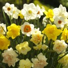Mixed Narcissi