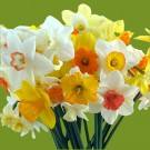 Fragrant Narcissi Mix