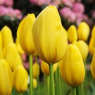 Yellow Friendship Triumph Tulip