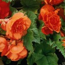 Orange Double Camellia Begonia