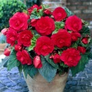 Pink Double Camellia Begonia