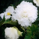 Fimbriata White Novelty Begonia