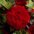 Fimbriata Red Novelty Begonia