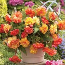 Golden Wave Novelty Begonia