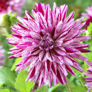 Blackberry Ripple Cactus Dahlia