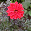 Bishop of Llandaff Bronzeleaf Dahlia