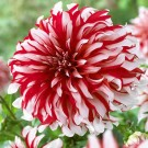 Santa Claus Decorative Dahlia
