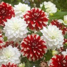 Patriot Love Dahlia Collection