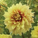 Dazzling Sun Decorative Dahlia