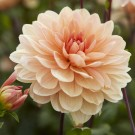 Apricot Desire Decorative Dahlia