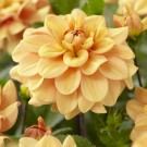 Ginger Snap Decorative Dahlia