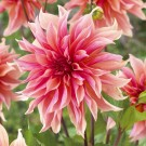 Labyrinth Giant Dinnerplate Dahlia