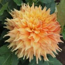 Hart's Dr. McMurray Giant Dinnerplate Dahlia