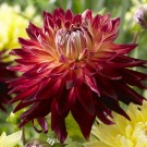 Manhattan Island Giant Dinnerplate Dahlia