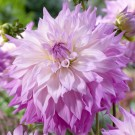 Sir Alf Ramsey Giant Dinnerplate Dahlia