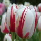 Canadian Celebration Triumph Tulip