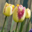 Boston Triumph Tulip