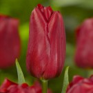 Strong Love Triumph Tulip