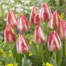 Spryng Break Triumph Tulip