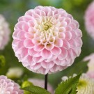 Wizard of Oz Pompon Dahlia