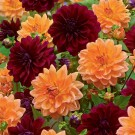 Tutti Frutti Novelty Dahlia Mix
