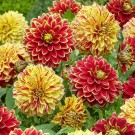 Hot Tamale Decorative Dahlia Mix