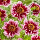 Liquid Desire Novelty Dahlia