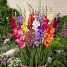 Rock a Bye Baby Gladiolus Mix